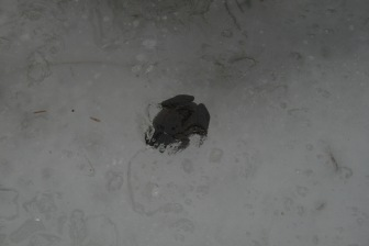 Wood Frogs that are able to freeze solid in winter
