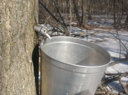 Sap spile dripping into the bucket