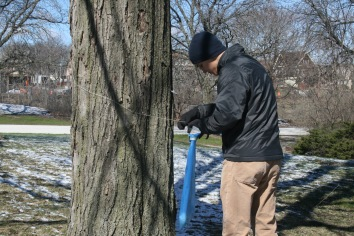 Removing Maple Syrup equipment from Sugar Maples