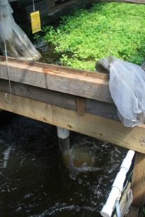 Aquaponic system to raise Perch and Tilapia