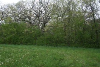 Invasive European Buckthorn crowded woodland before restoration