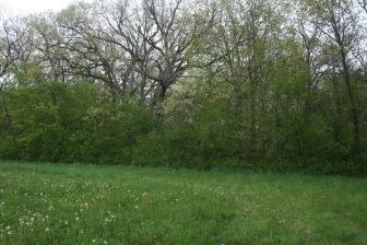 Invasive European Buckthorn crowded woodland before restoration