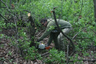 Quentin Maxwell cuts some invasive European Buckthorn