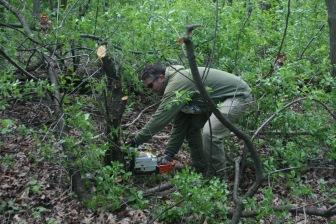 Quentin Maxwell cuts some invasive European Buckthorn
