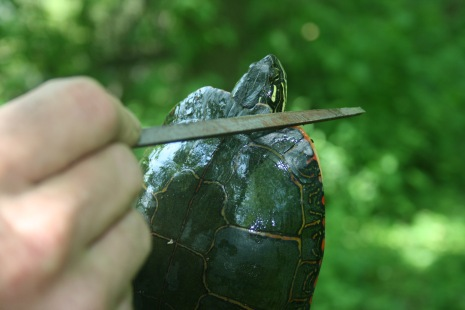 Notching their shell to signify it has been captured (painted turtle)