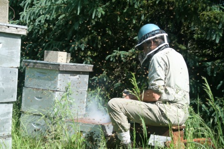 Using a smoker to calm the bees