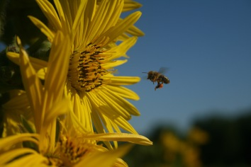 Honey Bee on Compass Plant