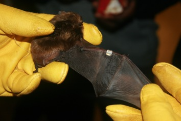 A band placed on a WI big brown bat