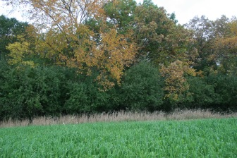 BEFORE: Bright green buckthorn pervades this oak woodland