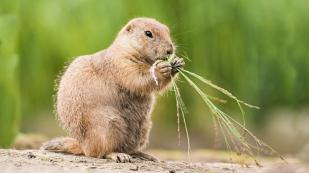 prairie-dog-eating-jpg-adapt-945-1