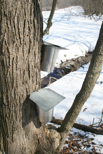 Sugar Maple Tree with 2 Taps