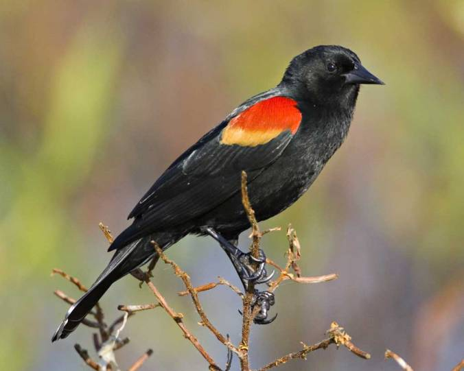 Red-winged_Blackbird_l07-46-110_l_1
