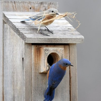 bluebird+nestbuilding