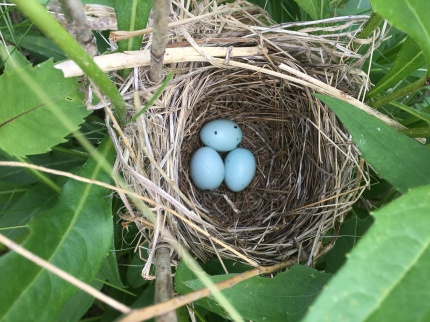 Red-winged blackbird eggs in a rosin-weed plant