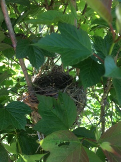 Red-winged blackbird nest in a native high-bush cranberry shrub (viburnum)