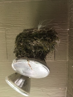 Phoebe nest on top of flood lights