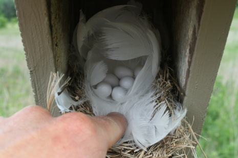 Tree Swallow nest with eggs