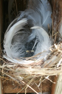 Fledgling Tree Swallows