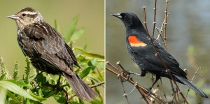 Red-winged_Blackbird_female-and-male