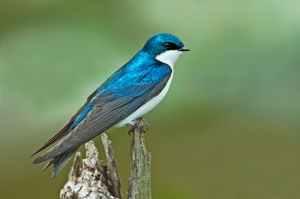 Tree-Swallow-Wallpaper-3