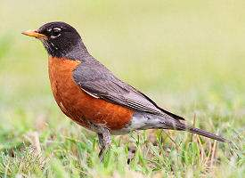 wisconsin-bird