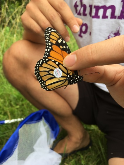 A tagged monarch butterfly
