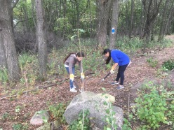 Removing buckthorn from the trail