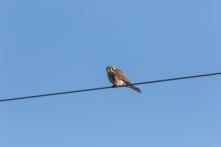 American Kestrel often perch on wires