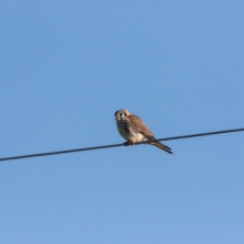American Kestrel often perch on wires