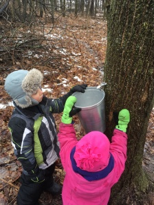 Watching the sap drip