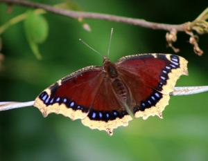 mourning_cloak_10-27-14