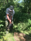 Removing a Snapping Turtle from the Live Trap